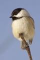 Chickadee 001