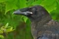 Raven 002