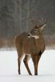Buck 004