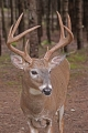 Buck 009