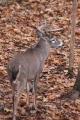 Buck 015