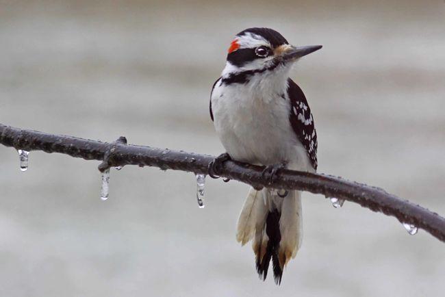Woodpecker 006