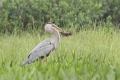 Blue Heron 001