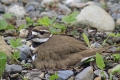 Killdeer 002