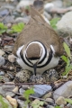 Killdeer 003