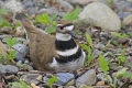 Killdeer 004