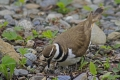 Killdeer 006