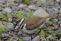 Killdeer 007