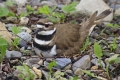 Killdeer 008