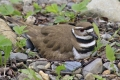 Killdeer 009