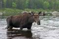 Bull 008