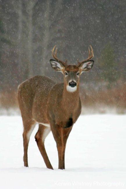 Buck 005