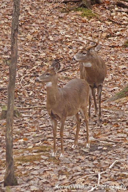 Buck 017