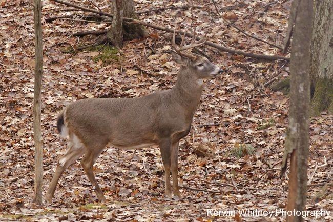 Buck 019