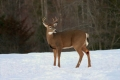 Buck 001