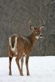 Buck 003