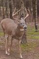 Buck 010
