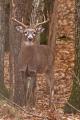 Buck 013