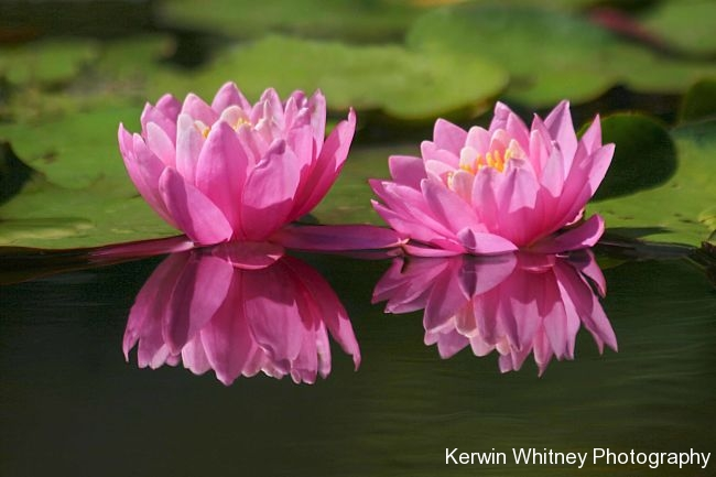 Pink Lily 003