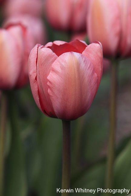 Pink Tulip 001