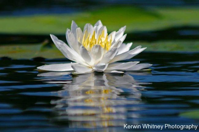White Lily 001