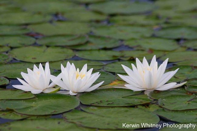 White Lily 003