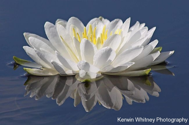 White Lily 004
