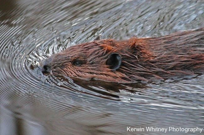 Beaver 002