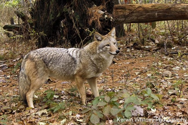 Coyote 001