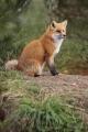 Fox 001